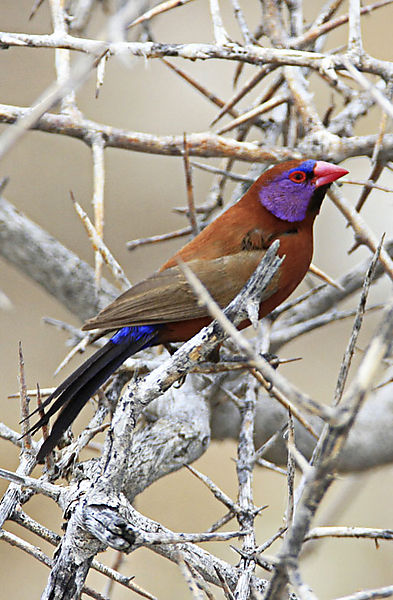 Violet eared wax bill