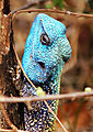 Tree Agama Lizard