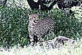 Cheetah near Namutoni