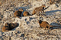 Group Of Dwarf Mongoose