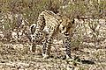 Leopard in the Kalahari 2