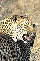 Leopard Sabi 1