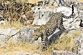 Leopard walking down rocks