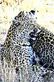 Leopards Sabie 4