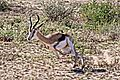 Springbok escaping from cheetah 3