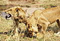 Two Young Male Lions