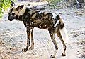 Wild dog 8