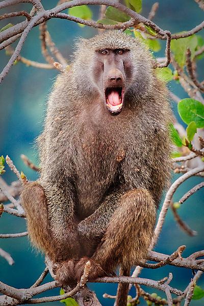 Angry Baboon Photo Lake Manyara Tanzania Africa