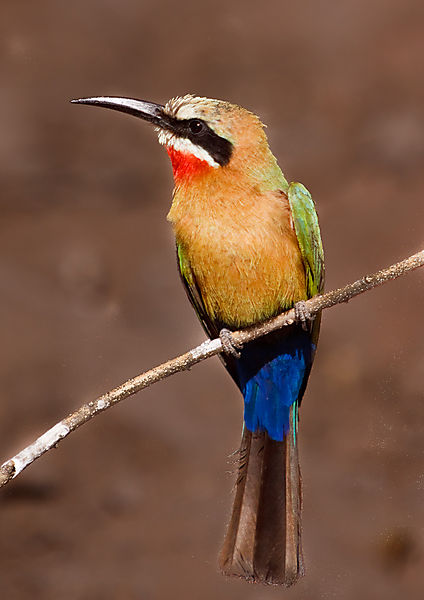 Bee-eater On The Okavango