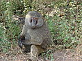 Content Baboon