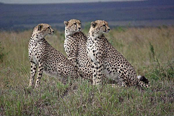 Serengeti National Park >> Cheetah