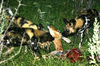 African Wild Dog pack on a kill