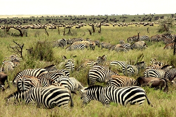 Serengeti Zebras and Wildebeest