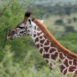 Giraffe in Serengeti