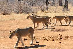 Pride of Lions in Ruhua National Park