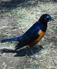 "Superb"" Starling - Ngorongoro Crater"
