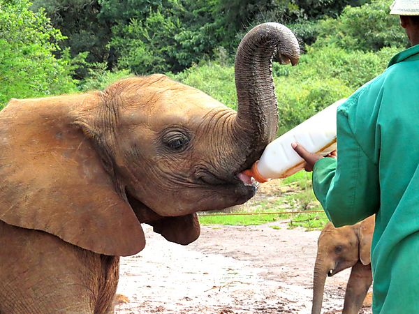 Feeding Time at David Sheldrick Elephant Orphanage