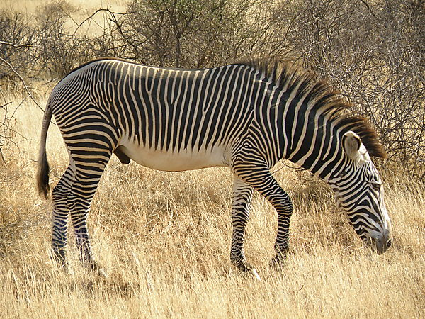 About the Zebra