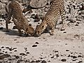 Cheetahs at Shaba Game Reserve Samburu
