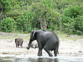 Elephant  Family Having Fun In Chobe River