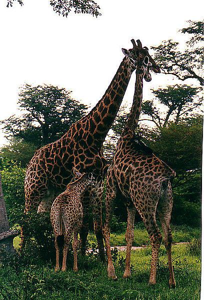 Stand West African Giraffe 5286