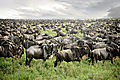 Serengeti Wildebeest Migration