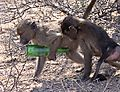 Baboon With Bottle
