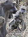 Baboons In The Kruger
