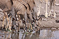 Kudu Females Having A Drink
