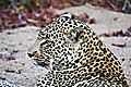 Leopard In Dry River Bed