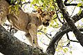 Lion In A Tree 1