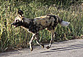 Wild dog on the road