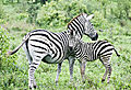 Zebra With Child