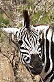 Zebra with oxpecker ear rings