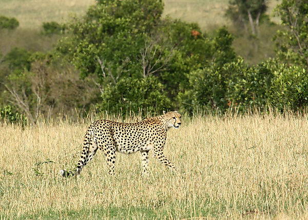 Cheetah On The Hunt....