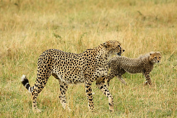 Mother Cheetah And Baby.