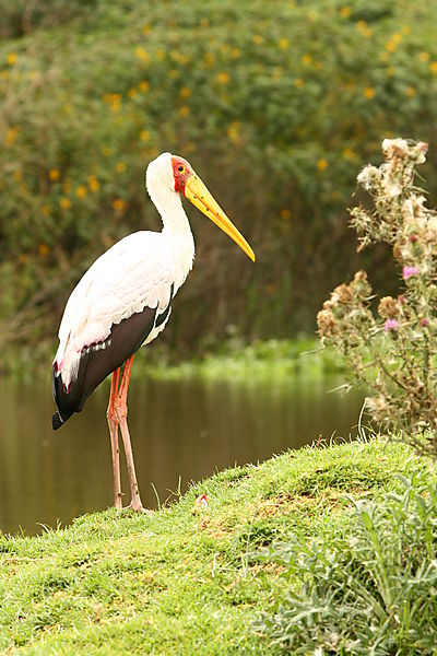 Yellow-billed Stork At Nakuru.