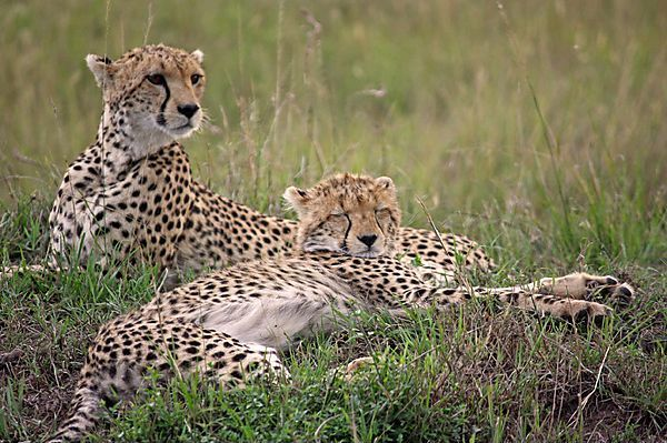 Female Cheetah ('shakira') With 4 Remaining Cubs