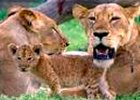 3 Days budget Tented Camp Safari to Masai Mara Kenya