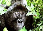 Luxury Gorilla Safari