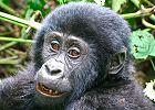 Gorilla Watching - Great Apes Safari Uganda