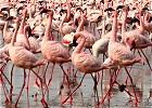 Flamingo and Wildebeest Migration Lodge Safari