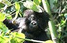 Nairobi - Kigali (Gorillas) Photographic & Comfort
