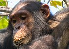 Chimpanzee Viewing in Gombe and Mahale National Parks