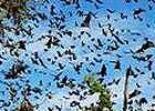 Zambia, Kasanka National Park & Bat Migration 2014