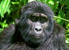 Mountain Gorillas to the Mara