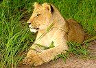 The Real African Bush BIG 5 Kruger Safari - Tented Safari