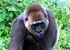 Gorilla & Chimpanzee Conservation in Cameroon
