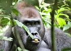 Central African Republic - Gorilla Adventure
