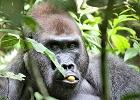 Central African Republic - Gorilla Adventure